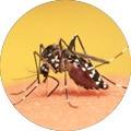 mosquito causing yellow fever